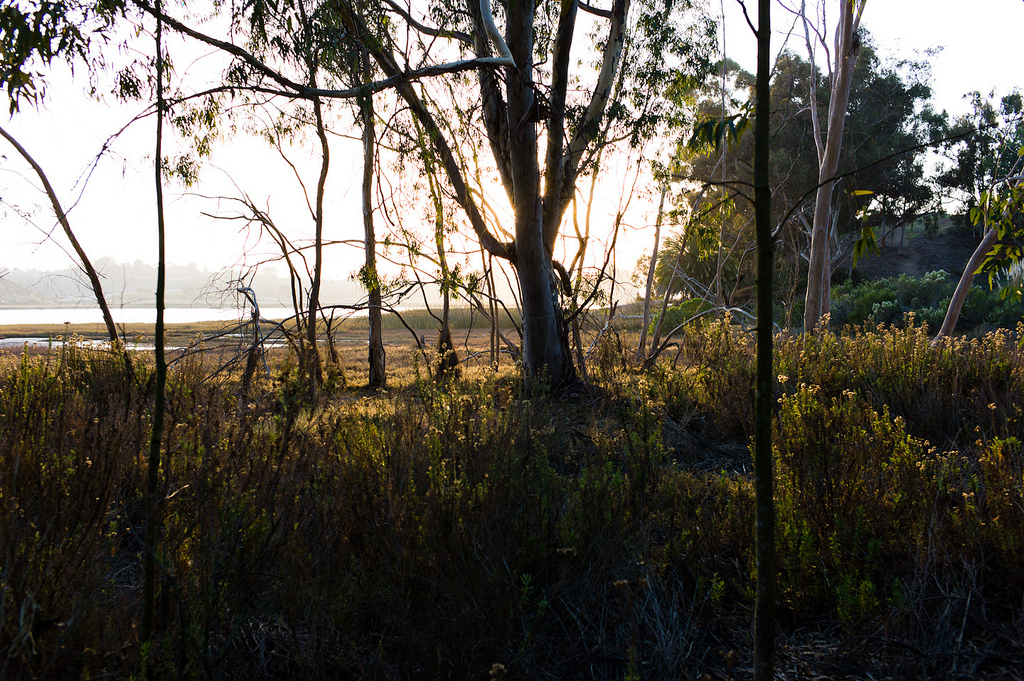 Batiquitos Lagoon Exotics Removal and Revegetation