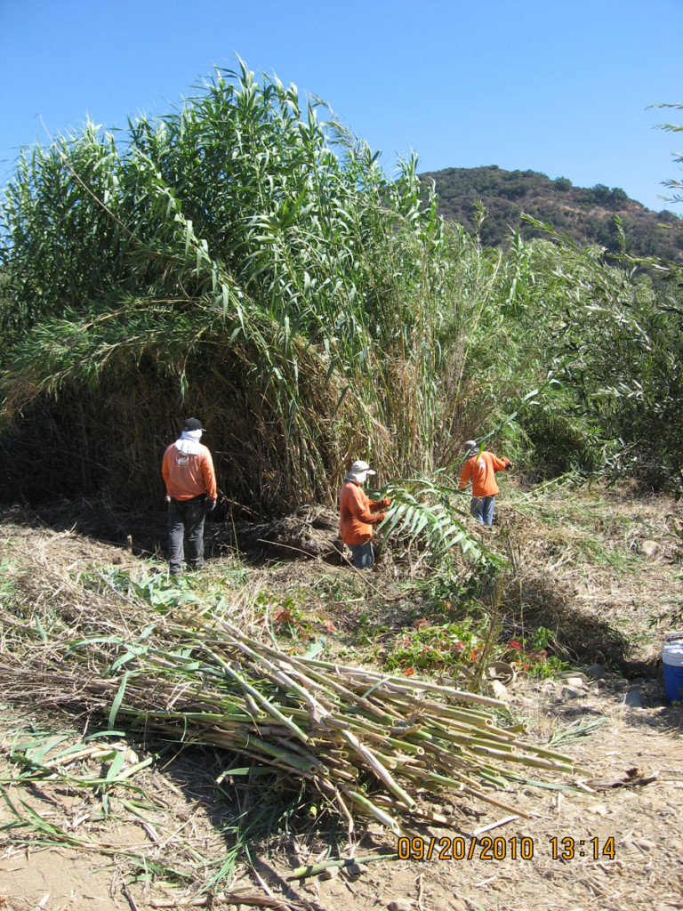Ventura River Arundo Removal Project